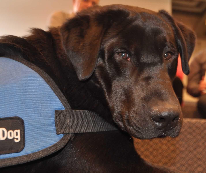 Dark brown service dog